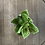 Pilea moon valley the ginger jungle the online houseplant shop