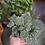 Thumbnail: Fittonia verschaffeltii 'Bianco Verde'