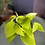 Epipremnum aureum Neon UK The Ginger Jungle the online house plant shop