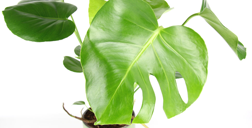 Monstera deliciosa uk The Ginger Jungle the online houseplant shop