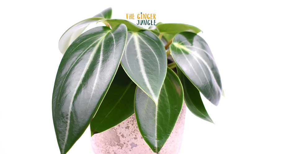 Peperomia maculosa UK The Ginger Jungle the online houseplant shop