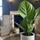 Anthurium king lovely green - Medium the ginger jungle the online houseplant shop