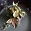 Hoya carnosa variegated 'tricolor' UK The Ginger Jungle the online houseplant shop UK