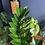 Thumbnail: Zamioculcas zamiifolia - The ZZ plant