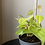 Thumbnail: Philodendron Hederaceum 'Lemon Lime'