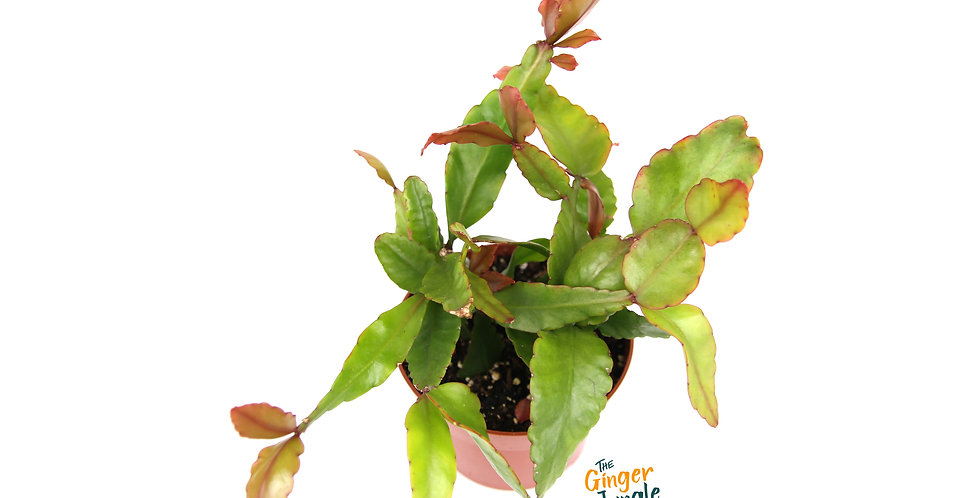 Rhipsalis pachyptera The Ginger Jungle the online houseplant shop