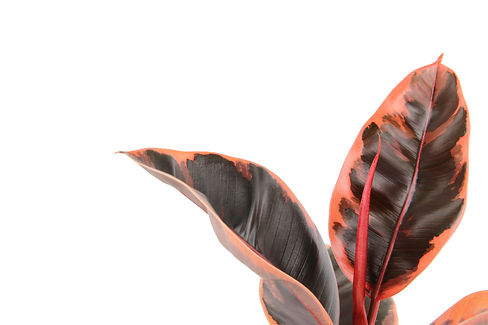Ficus Elastica 'belize'4523.JPG