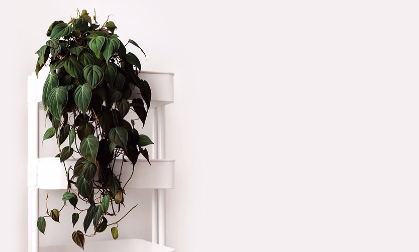 Philodendron%252520mican_edited_edited_e