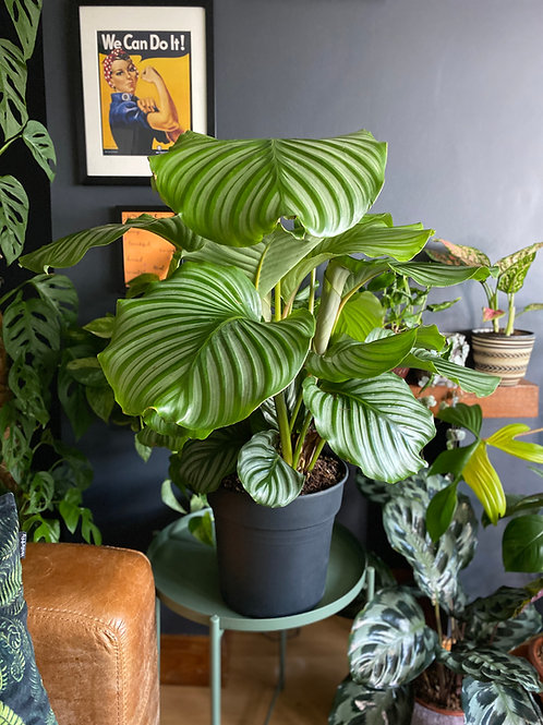 Calathea orbifolia - XX-Large The Ginger Jungle Big indoor plants