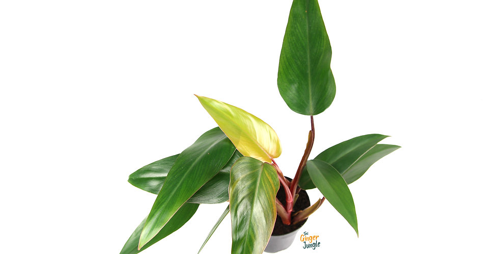 Philodendron mandaianum ruby The Ginger Jungle the online houseplant shop uk