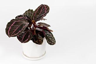 Calathea Roseopicta (Dottie) in pot isol