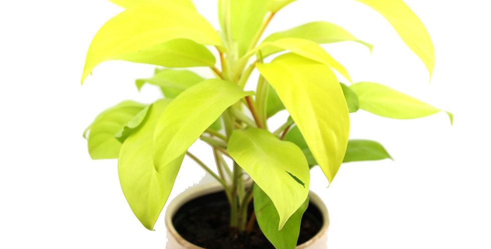 "Philodendron lemon lime ""Malay gold"""