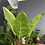 Philodendron Melinonii THE GINGER JUNGLE BIG INDOOR PLANTS UK