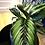 Calathea beauty star pet safe houseplant the ginger jungle the online houseplant shop