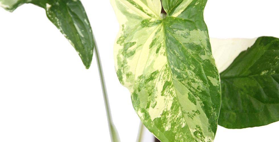 Syngonium podophyllum Variegata -D
