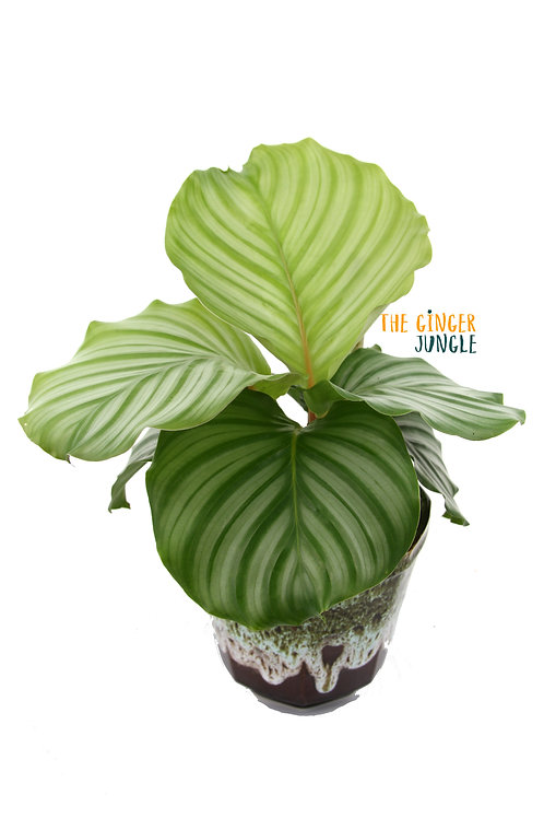 Calathea orbifolia UK The Ginger Jungle indoor houseplants rare calathea uk