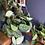 Thumbnail: Scindapsus pictus argyraeus - Hanging