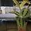 Maranta leuconeura Pet safe houseplants UK The Ginger jungle