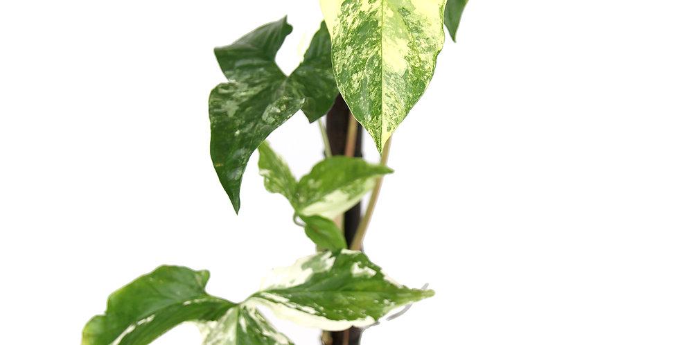 Syngonium podophyllum Variegata -B
