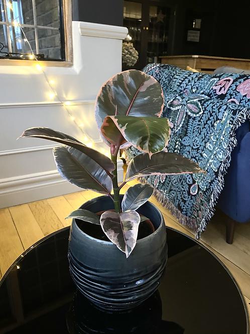 Ficus Elastica 'belize' The Ginger Jungle