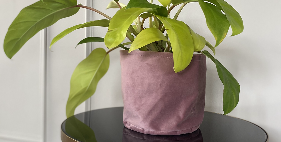 """Philodendron lemon lime """"Malay gold"""" The Ginger Jungle"""