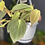 Thumbnail: Philodendron micans - Hanging pot