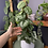 Scindapsus pictus trebie - Moss Pole Easy houseplants UK The Ginger Jungle