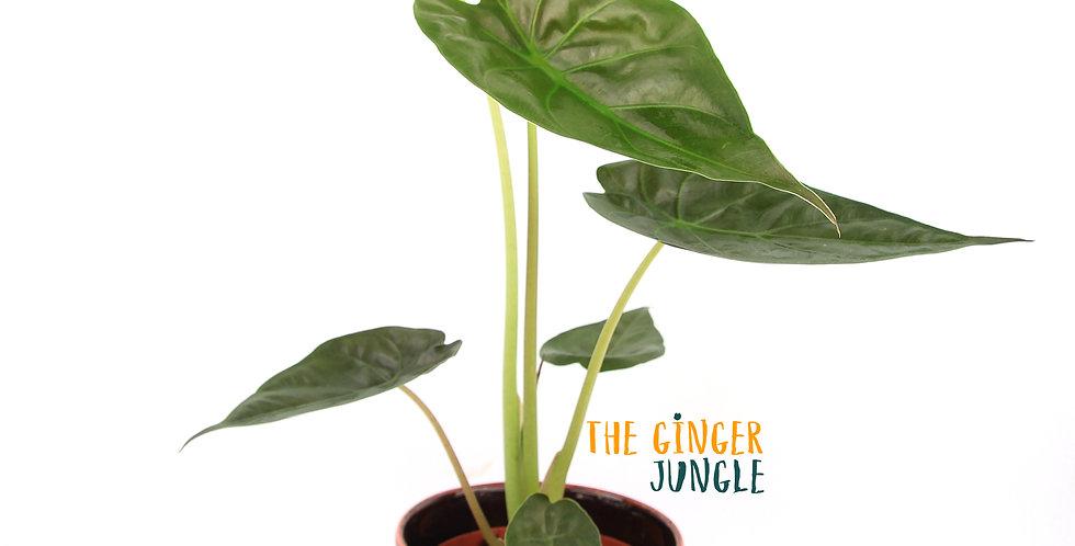 Alocasia wentii The Ginger Jungle online UK houseplant shop Easy indoor plants