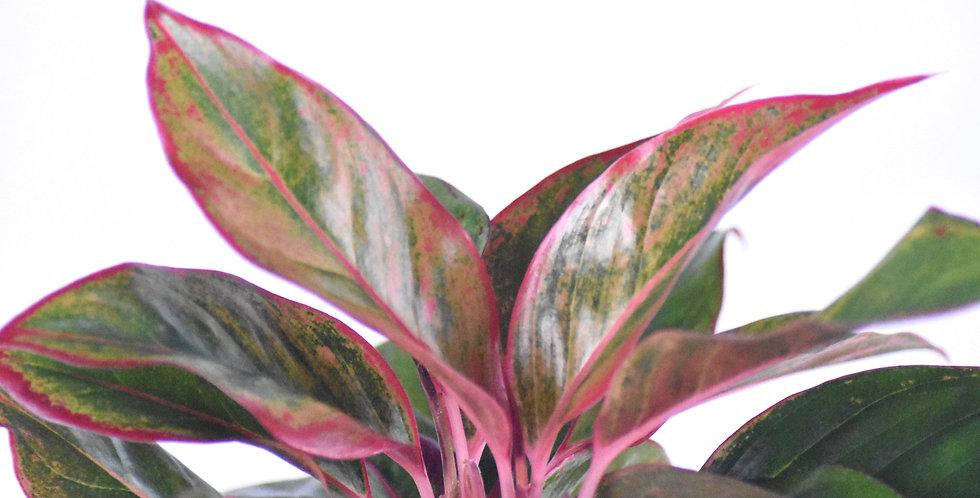 Aglaonema creta houseplant