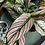 Thumbnail: Calathea White star -