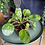 Pilea mojito Uk The Ginger Jungle rare plants UK