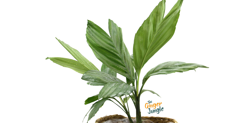 Chamaedorea Metallica The Ginger Jungle the rare online plant shop uk