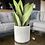 Sansevieria moonshine easy indoor plants air purifying houseplants UK The Ginger Jungle