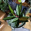 Stromanthe Magicstar The Ginger Jungle Pet safe houseplant UK