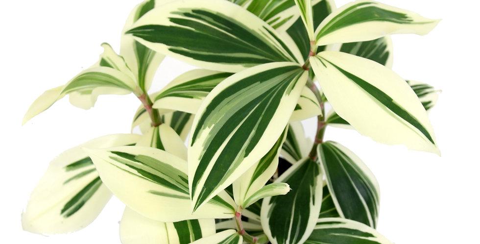 Costus arabicus 'Variegatus' - Variegated Spiral Ginger Rare Indoor plant uk The Ginger Jungle