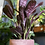 Ctenanthe amagris The Ginger Jungle The online houseplant shop air purifying plants