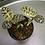 Macodes petola 'jewel orchid' UK The Ginger Jungle uk rare orchids UK