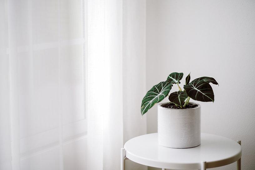 Alocasia reginula 'black velvet' plantlet in a white pot on a white background. Close-up o