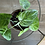 Syngonium Macrophyllum 'Frosted Heart' The Ginger Jungle the online houseplant shop