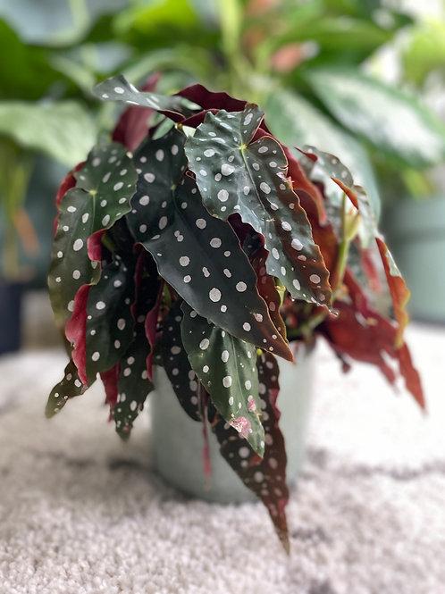 "Begonia maculata ""Wightii"" UK The Ginger JUNGLE PET SAFE HOUSEPLANTS"