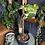 Syngonium podophyllum Variegata uk The GinGER juNGLE