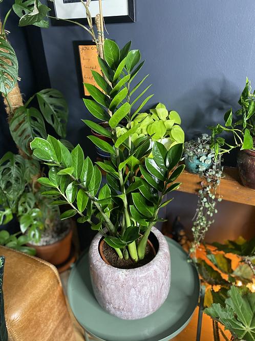 Zamioculcas zamiifolia - The ZZ plant