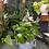 Thumbnail: Epipremnum aureum 'Devils ivy'