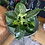 Philodendron birki UK The Ginger Jungle Easy indoor plants UK