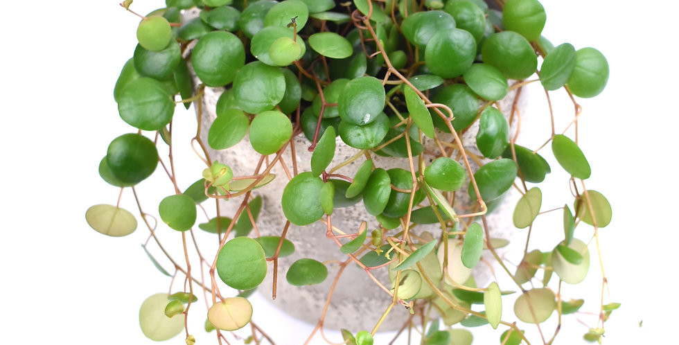 Peperomia Pepperspot The Ginger Jungle The online houseplant shop