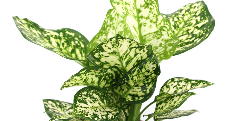 Aglaonema hybrids UK The Ginger Jungle rare indoor plants