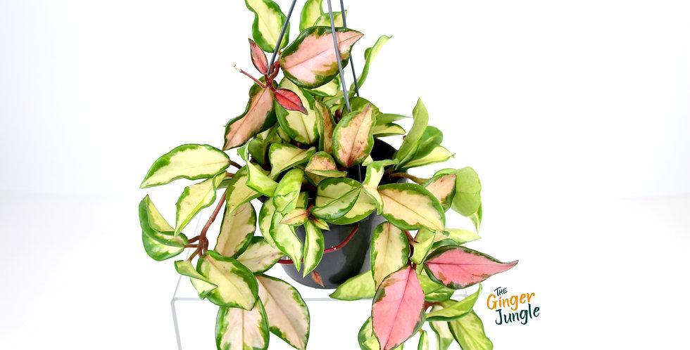 Hoya carnosa 'tricolor' Hanging