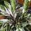 Calathea white fusion UK The Ginger Jungle UK White fusion Calathea