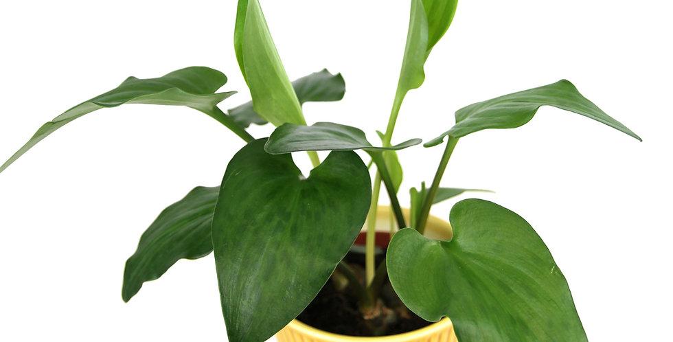 Drimiopsis Maculata UK The Ginger Jungle the online houseplant shop uk