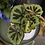 Begonia 'Masoniana' UK The Ginger Jungle The online houseplant shop